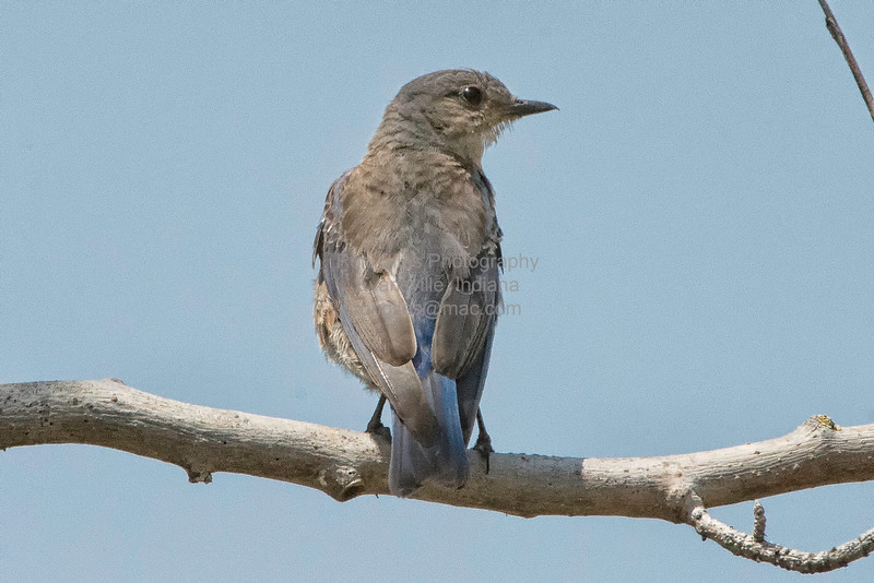 Bluebird, Western -9224