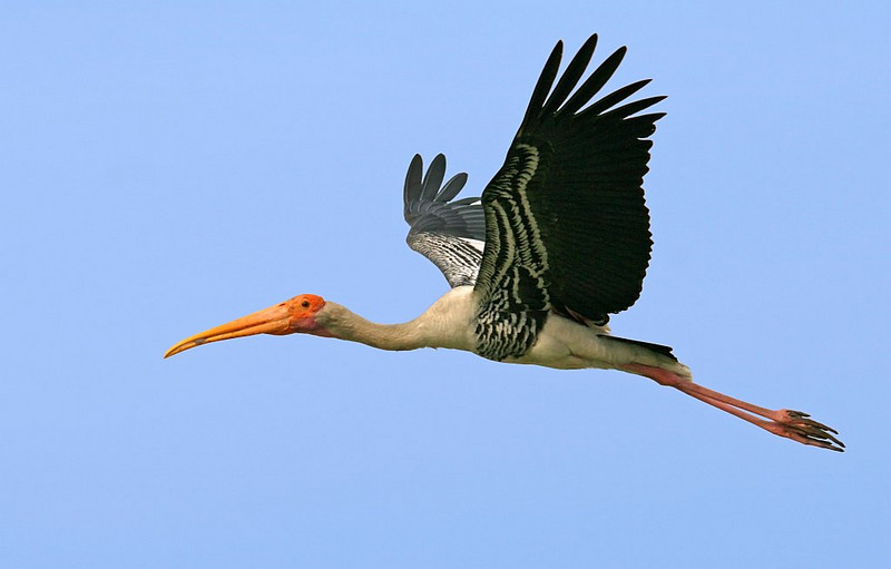 Painted Stork Flying