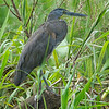 Tiger-Heron, Bare-throated -9252