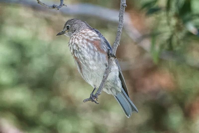 Bluebird, Western -9371