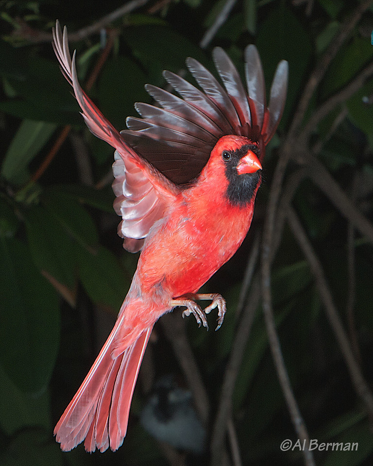 A Northern Cardinal frozen in flight in our garden.