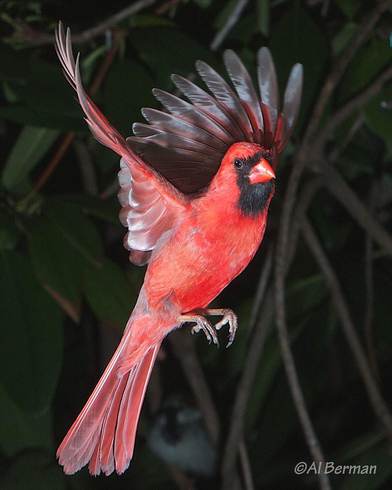 A Northern Cardinal frozen in flight in our garden.