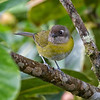 Bush-Tanager, Common  N60_1528