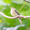 Flycatcher, Yellow-bellied  N60_9270-2