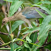 Gallinule, Purple (Female) -9145