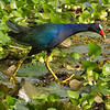 Gallinule, Purple  N60_0579