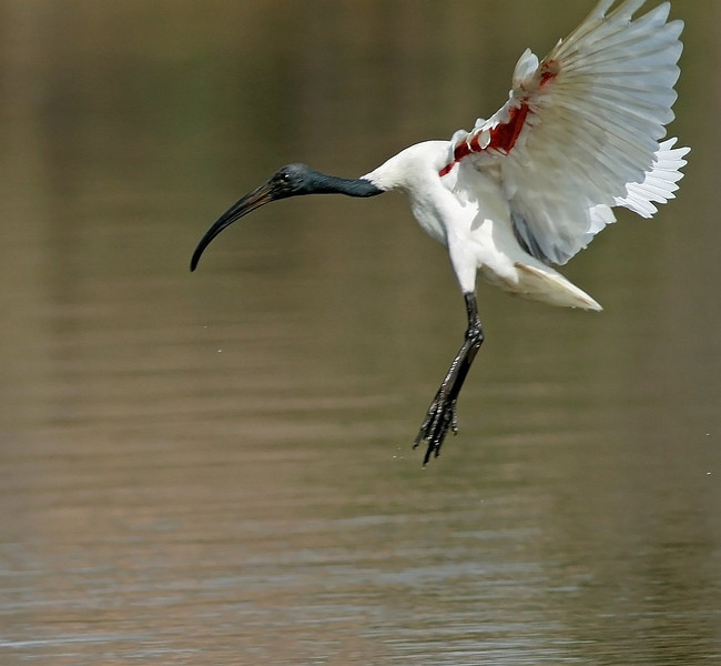Black Headed Ibis landing in water