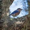 Bluebird, Eastern -5069
