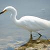 Egret, Snowy -9327