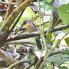 Ant-Tanager, Black-cheeked (Endemic to CR) N60_9493
