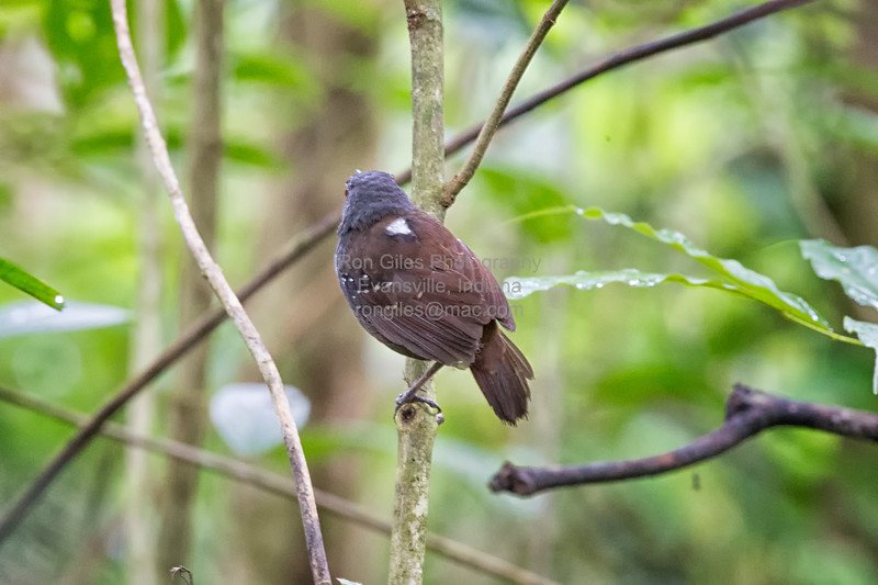 Antbird, Dull-mantled  D41_3018