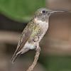 Hummingbird, Ruby-throated D41_6912