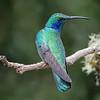 Hummingbird, Green Violet-ear -6475