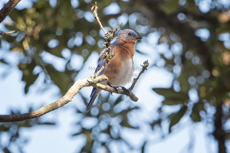 Bluebird, Eastern -5113