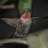 Hummingbird, Ruby-throated D41_6791