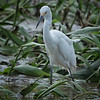 Egret, Snowy -9258