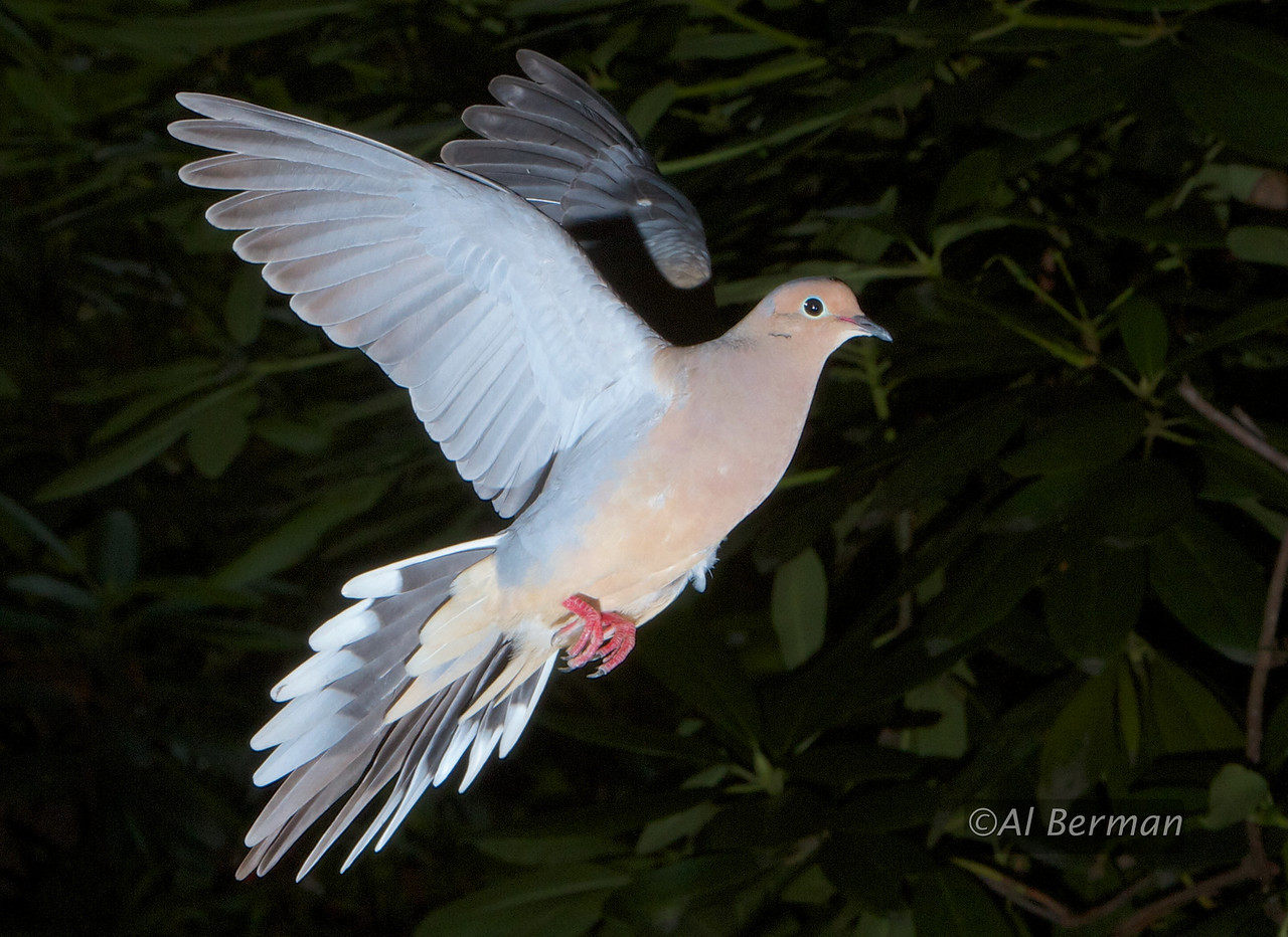 Mourning Dove in flight.