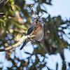 Bluebird, Eastern -5095