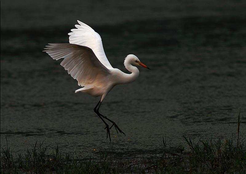Intermediate Egret landing