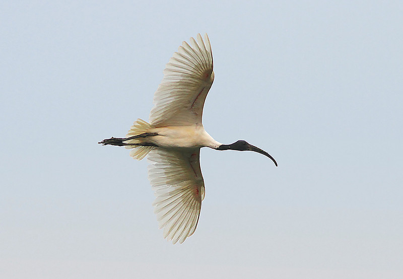 Black Headed Ibis in flight