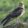 Caracara, Yellow-headed  N60_1152-Edit