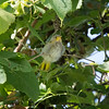 Oriole, Orchard (fledgling)  D4L_4821