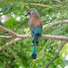 Motmot, Turquoise-browed -0041