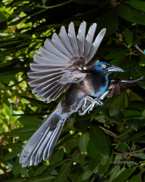 Common Grackle in flight.