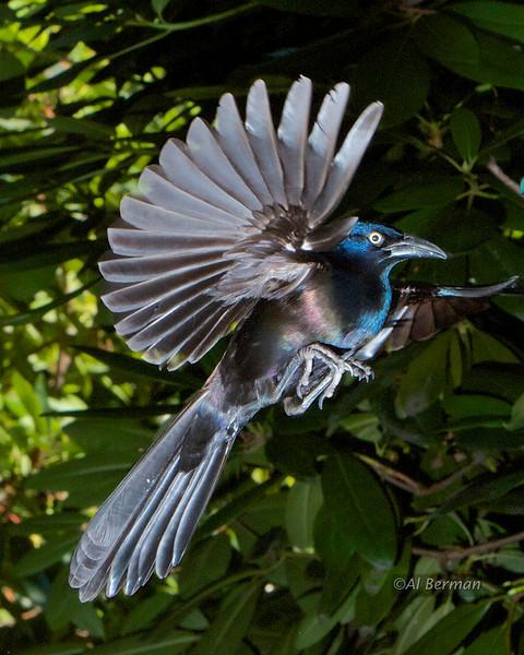 Common Grackle in flight.