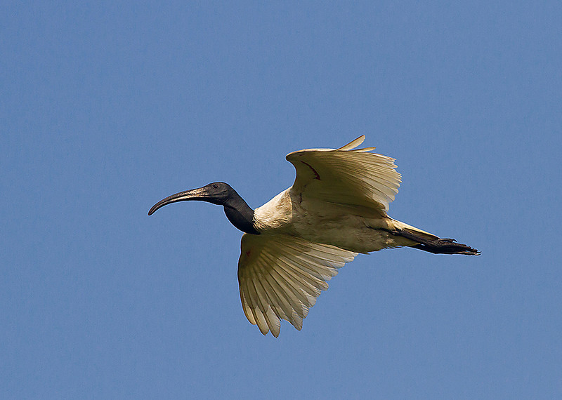 Black-Headed Ibis in flight
