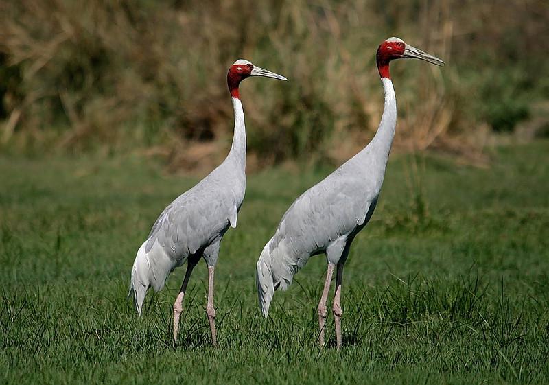 A Pair of Sarus Crane