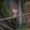 Hummingbird, Ruby-throated D41_6776