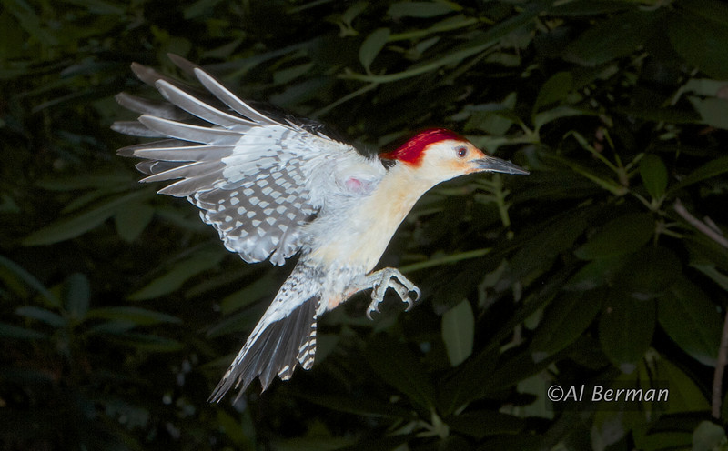 Woodpecker in flight