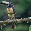 Aracari, Collared D41_2593