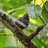 Antbird, Dull-mantled (Female)  D41_3038