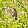 Flycatcher, Willow  D4L_4855