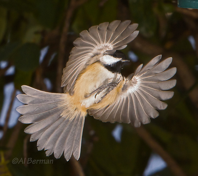Carolina Chickadee in flight.