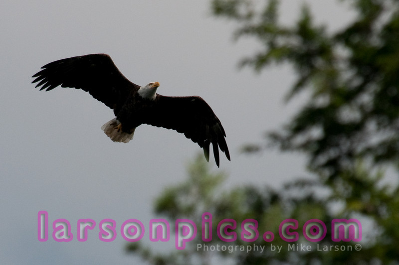 Eagle in Northern Wisconsin