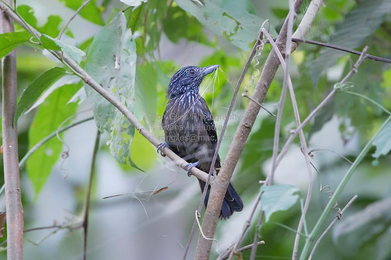 Antshrike, Black-hooded (Endemic to CR)  N60_9686