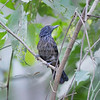 Antshrike, Black-hooded (Endemic to CR)  N60_9686