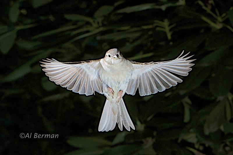 House sparrow in flight