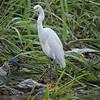 Egret, Snowy -9346