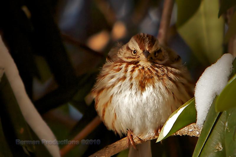 Wind-blown sparrow