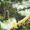 Motmot, Keel-billed -7256