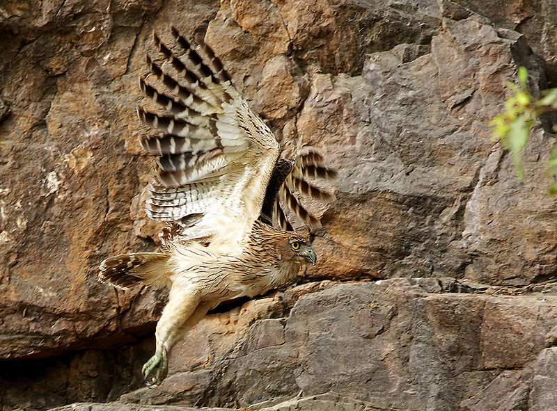 Brown Fish Owl in Flight