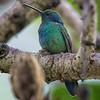 Hummingbird, Green Violet-ear -6897