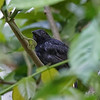 Antshrike, Black-hooded  N60_0469