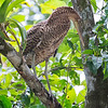 Tiger-Heron, Bare-throated -8401