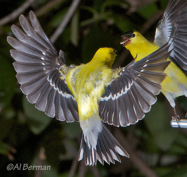 Goldfinch food fight