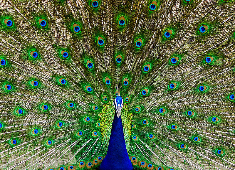 Indian Peacock dancing with wings open